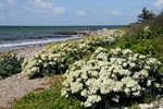 Strandkl (Crambe maritima)